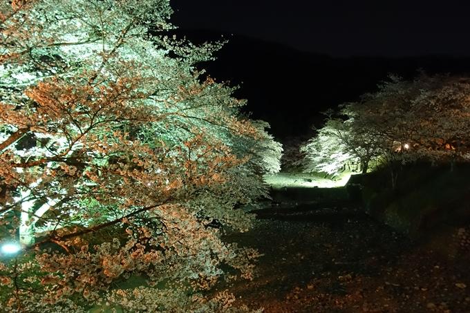 京都桜速報2019_41 No23