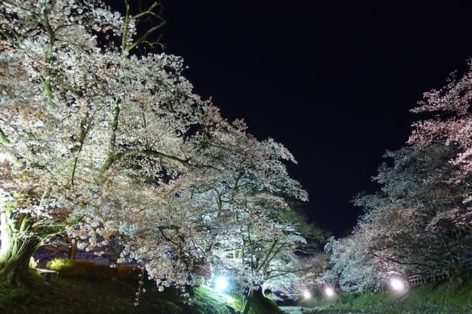 京都桜速報2019_41 No24