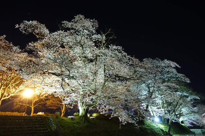京都桜速報2019_41 No25