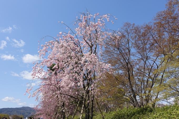 京都桜速報2019_31 No6