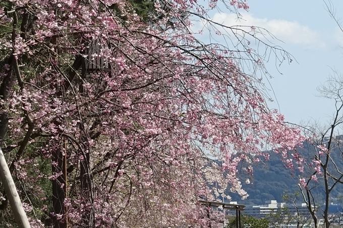 京都桜速報2019_31 No17