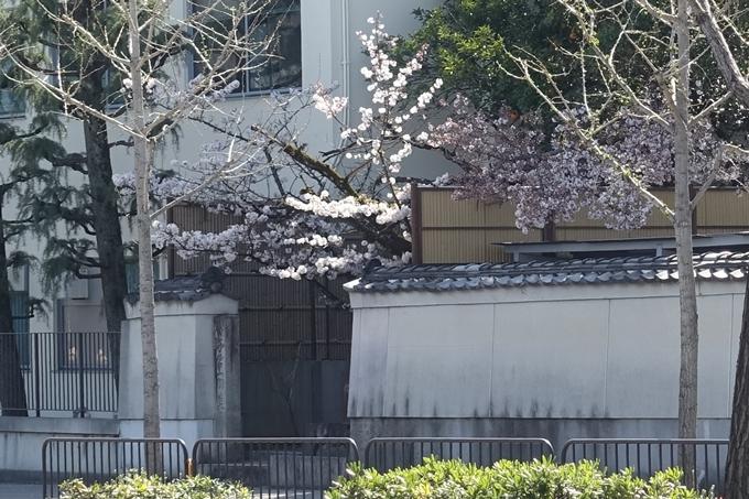 京都桜速報2019_32 No3