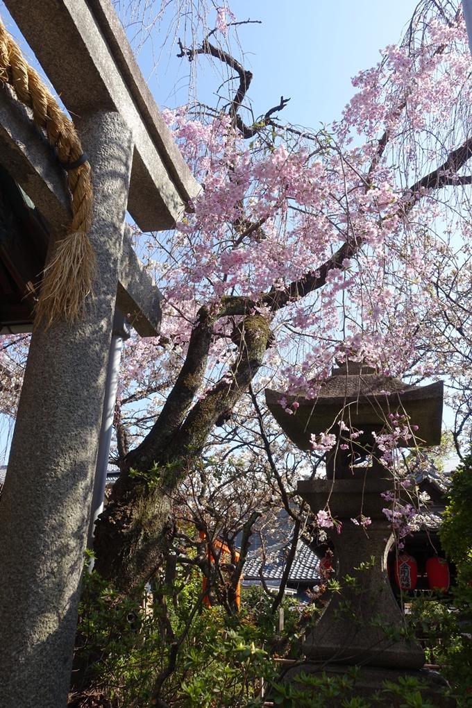 京都桜速報2019_33 No11