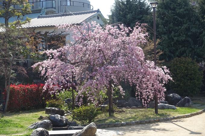 京都桜速報2019_34 No5