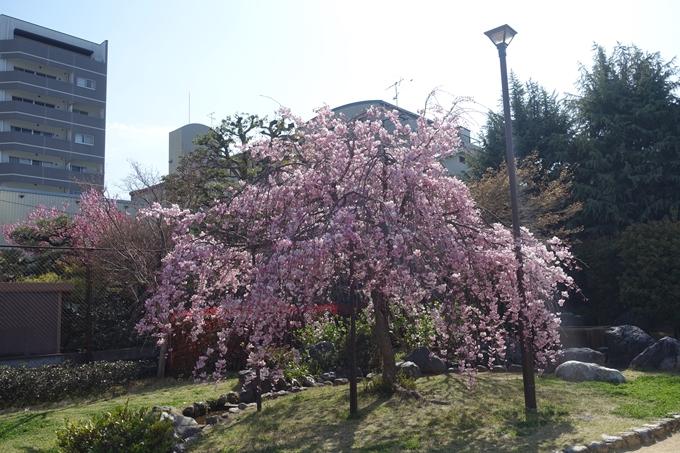 京都桜速報2019_34 No6
