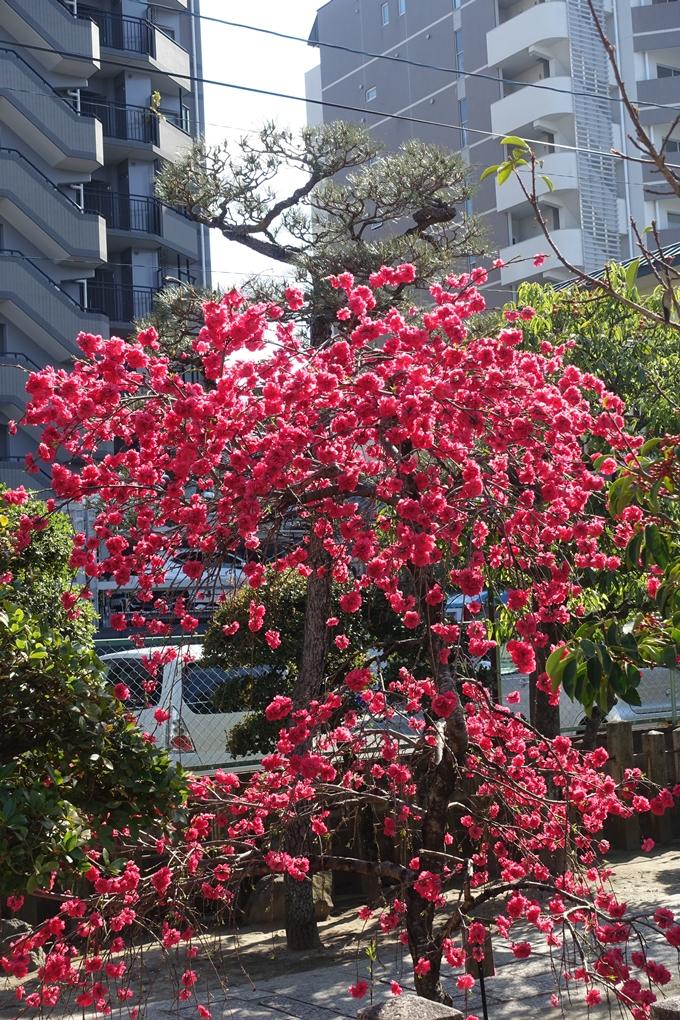 京都桜速報2019_35 No3