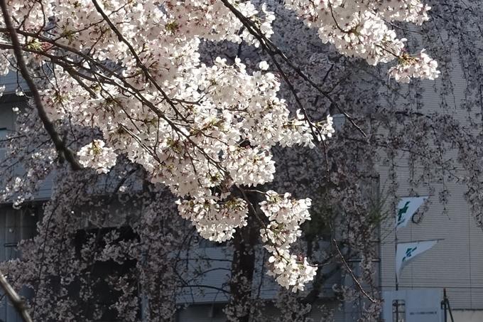 京都桜速報2019_36 No8