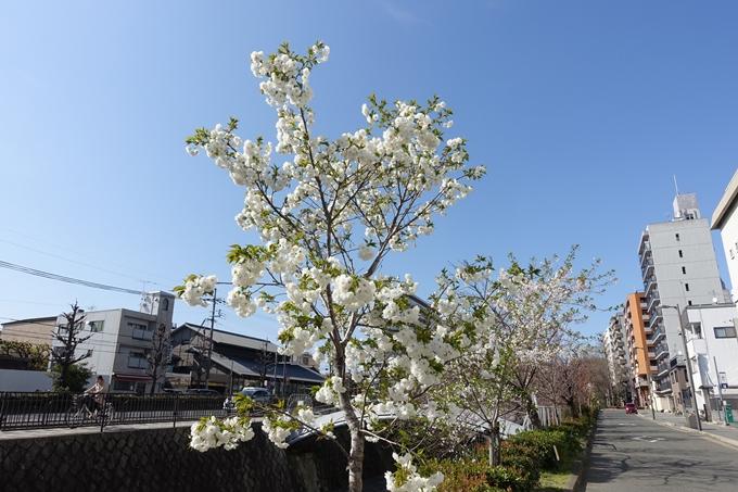 京都桜速報2019_36 No12