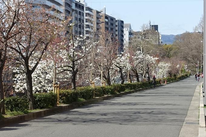 京都桜速報2019_36 No15
