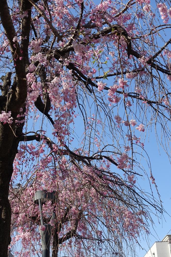 京都桜速報2019_37 No6