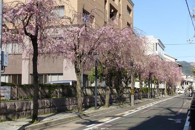 京都桜速報2019_37 No7