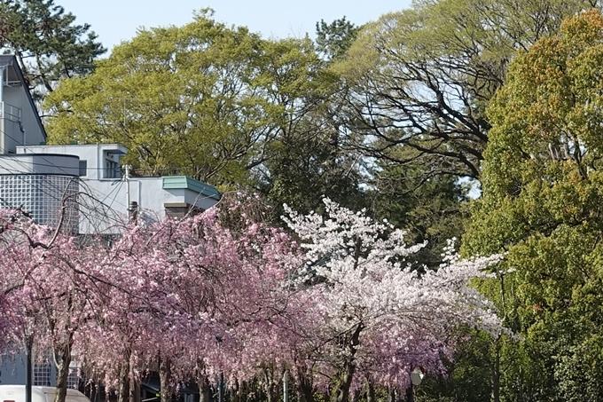 京都桜速報2019_37 No9