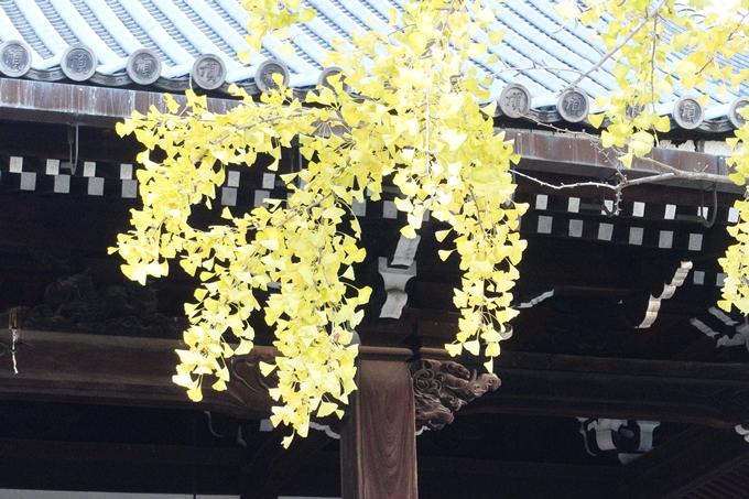 京都_紅葉情報_2019_03 頂妙寺 いちょう No15