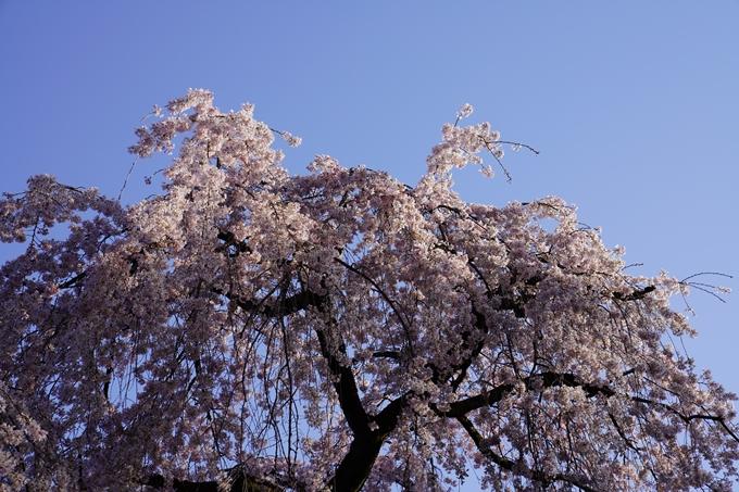 京都_桜_2020_01 No4