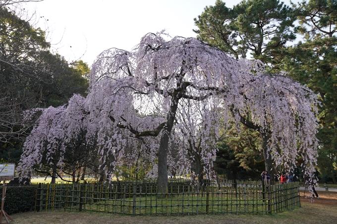 京都_桜_2020_01 No6