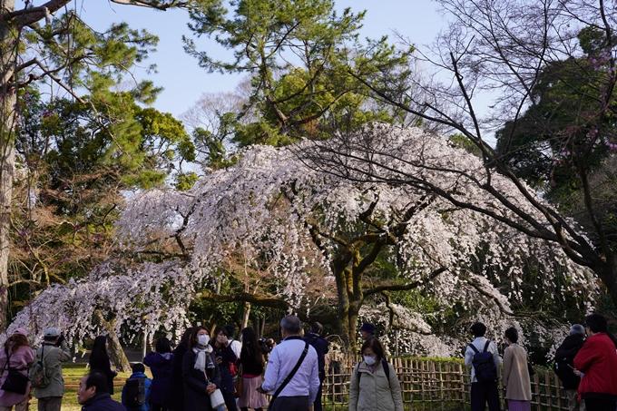 京都_桜_2020_01 No13
