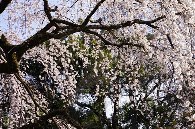 京都_桜_2020_01 No15