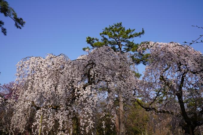 京都_桜_2020_01 No16