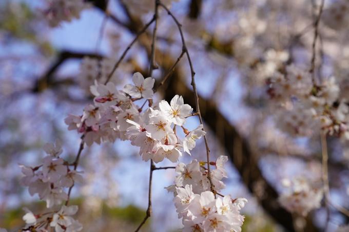 京都_桜_2020_01 No18