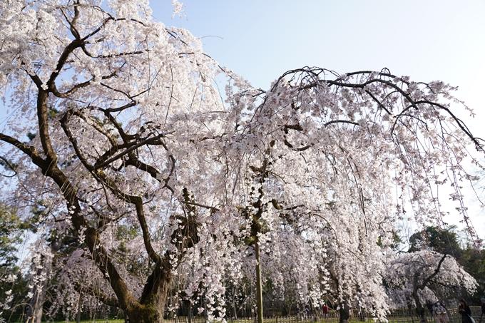 京都_桜_2020_01 No19