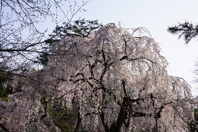 京都_桜_2020_01 No20
