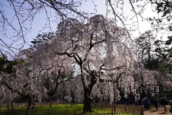 京都_桜_2020_01 No21