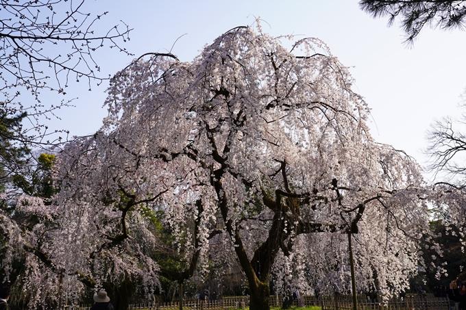 京都_桜_2020_01 No22