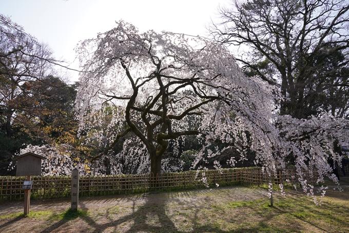 京都_桜_2020_01 No23