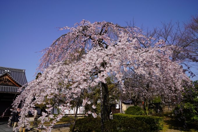 京都_桜_2020_04 No7