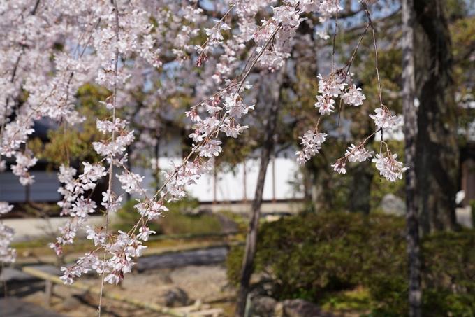 京都_桜_2020_04 No8