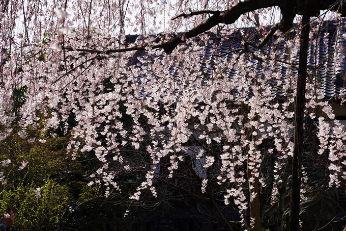 京都_桜_2020_04 No11