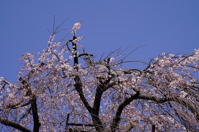京都_桜_2020_05 No4