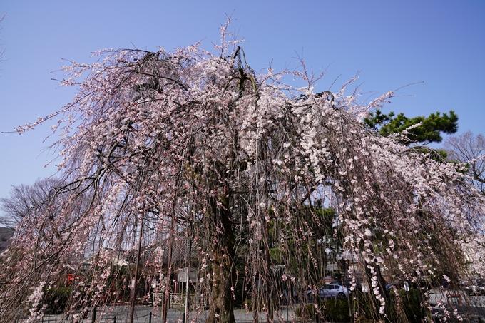 京都_桜_2020_05 No5