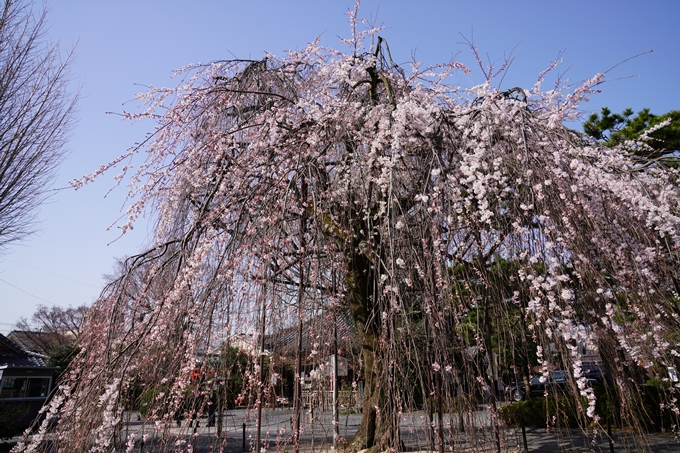 京都_桜_2020_05 No6