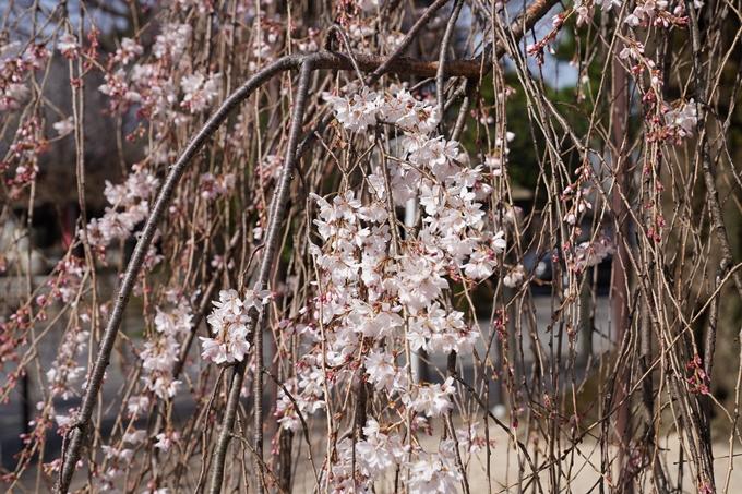 京都_桜_2020_05 No7
