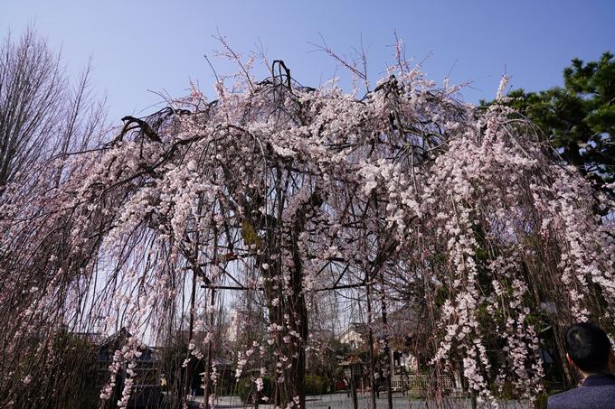 京都_桜_2020_05 No8