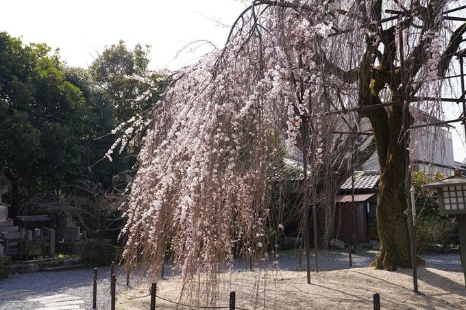 京都_桜_2020_05 No11