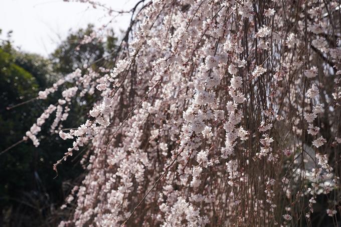 京都_桜_2020_05 No12