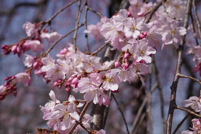 京都_桜_2020_06 No6