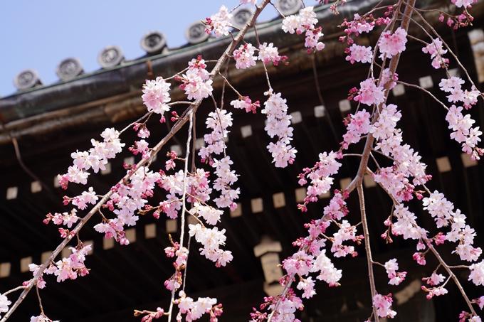 京都_桜_2020_06 No10