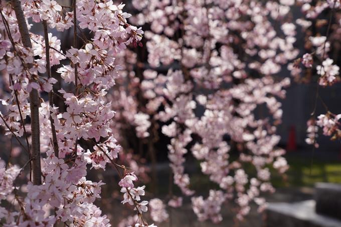 京都_桜_2020_06 No11