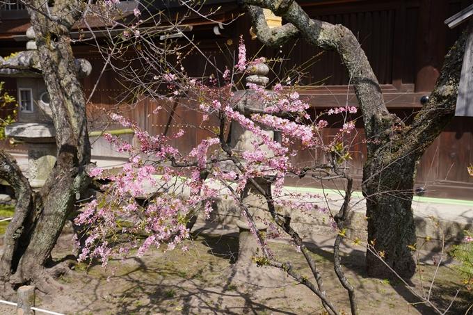 京都_桜_2020_07 No3