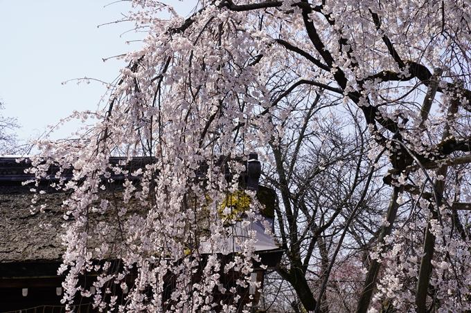 京都_桜_2020_07 No8