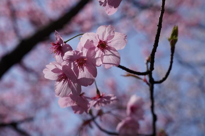 京都_桜_2020_07 No15