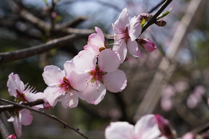京都_桜_2020_07 No24