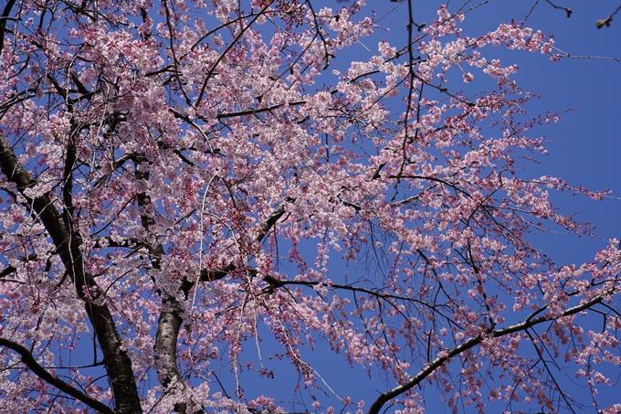 京都_桜_2020_07 No29