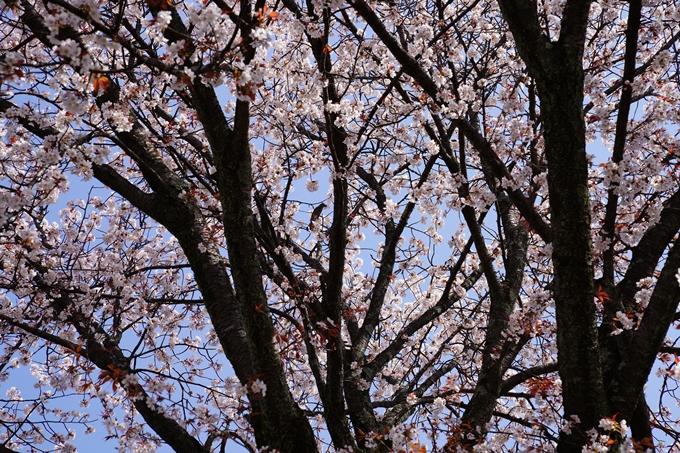 京都_桜_2020_07 No32