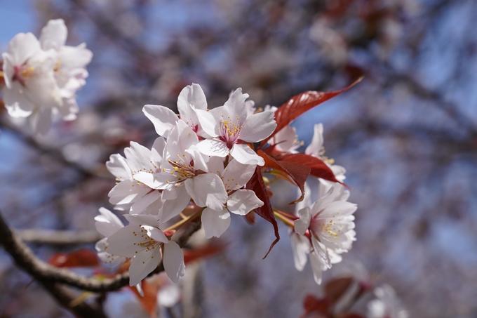 京都_桜_2020_07 No33