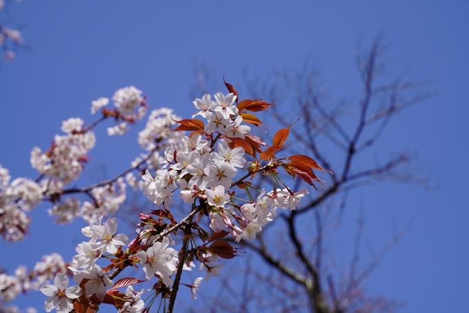 京都_桜_2020_07 No35