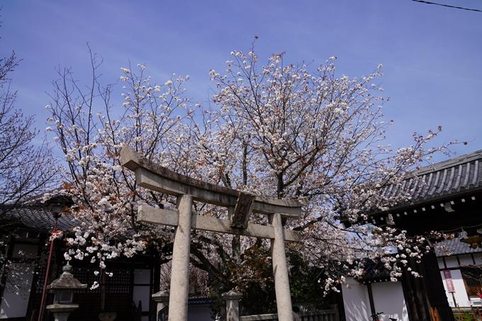 京都_桜_2020_13 本満寺 No3